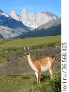 Guanaco (Lama guanicoe) standing, towers of Torres del Paine National Park in background. Patagonia, Chile. December 2018. Стоковое фото, фотограф Nick Garbutt / Nature Picture Library / Фотобанк Лори