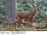 Roe deer (Capreolus capreolus) buck in woodland. Peerdsbos, Brasschaat, Belgium. August. Стоковое фото, фотограф Bernard Castelein / Nature Picture Library / Фотобанк Лори