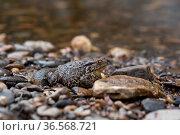 Common gray toad on the shore close-up. Стоковое фото, фотограф Евгений Харитонов / Фотобанк Лори