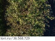 Густые заросли лопуха войлочного. Dense thickets of woolly burdock (Arctium tomentosum). Стоковое фото, фотограф Евгений Романов / Фотобанк Лори