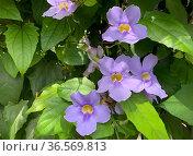 Beautiful flowering of a climbing plant Thunbergia grandiflora (Latin - Thunbergia grandiflora) Стоковое фото, фотограф Irina Opachevsky / Фотобанк Лори