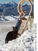 Schwarzer Kater mit Hörnerschlitten im Winter. Стоковое фото, фотограф Zoonar.com/Eder Christa / age Fotostock / Фотобанк Лори