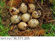 Wachteleier im Nest. Стоковое фото, фотограф Zoonar.com/Gerd Herrmann / age Fotostock / Фотобанк Лори