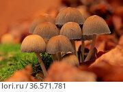 Pilze, Herbstlaub, Moos. Стоковое фото, фотограф Zoonar.com/Gerd Herrmann / age Fotostock / Фотобанк Лори