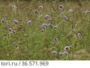 Wiesen-Witwenblume, Pflanze, Bluete, Knautia arvensis. Стоковое фото, фотограф Zoonar.com/Gerd Herrmann / age Fotostock / Фотобанк Лори