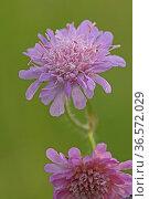 Wiesen-Witwenblume_Knautia arvensis. Стоковое фото, фотограф Zoonar.com/Gerd Herrmann / age Fotostock / Фотобанк Лори