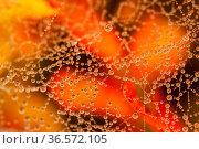 Wet web of a spider with little water droplet condensating on fibers... Стоковое фото, фотограф Zoonar.com/Jakub Mrocek / easy Fotostock / Фотобанк Лори