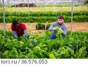 Workmen cutting green chard on farm field. Стоковое фото, фотограф Яков Филимонов / Фотобанк Лори