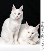 Portrait of two white American Longhair Cats on black and white background. Стоковое фото, фотограф А. А. Пирагис / Фотобанк Лори