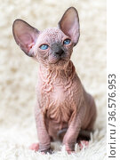 Portrait of Canadian Sphynx Cat kitten with big blue eyes sitting on white carpet background. Стоковое фото, фотограф А. А. Пирагис / Фотобанк Лори