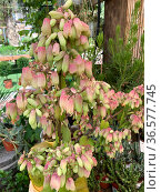 Succulent Kalanchoe pinnata (Latin - Kalanchoe pinnata) beautiful ornamental plant. Стоковое фото, фотограф Irina Opachevsky / Фотобанк Лори