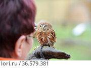 Der Brasilianischer Sperlingskauz.Ferruginous pygmy owl.Glaucidium... Стоковое фото, фотограф Zoonar.com/Arvidas Saladauskas / age Fotostock / Фотобанк Лори