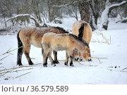 Wild animals in forest.The Przewalski's horse. Стоковое фото, фотограф Zoonar.com/Arvidas Saladauskas / age Fotostock / Фотобанк Лори