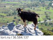 Ziege , Kreta, bergziege, griechenland, gebirge, berge, landwirtschaft... Стоковое фото, фотограф Zoonar.com/Volker Rauch / age Fotostock / Фотобанк Лори