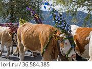 Im Herbst wird das Weidevieh festlich geschmückt von den Almen ins... Стоковое фото, фотограф Zoonar.com/Eder Christa / age Fotostock / Фотобанк Лори