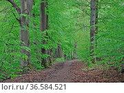 Frühlingswald, wald, natur,buche, buchen, buchenwald, frühling, frühjahr... Стоковое фото, фотограф Zoonar.com/Volker Rauch / age Fotostock / Фотобанк Лори