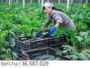 happy russian female farmer cultivating crop of squash in hothouse; Стоковое фото, фотограф Яков Филимонов / Фотобанк Лори