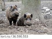 Wildschweine im Schlamm. Стоковое фото, фотограф Zoonar.com/Martina Berg / easy Fotostock / Фотобанк Лори