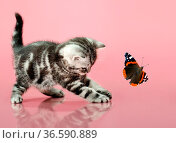 Fluffy gray beautiful kitten, breed scottish-straight, play upright... Стоковое фото, фотограф Zoonar.com/Aleksey Mnogosmyslov / easy Fotostock / Фотобанк Лори