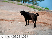 Hund, tier, haustier, schwarz, portrait, haushund, türkei, weg, schwarzes... Стоковое фото, фотограф Zoonar.com/Volker Rauch / easy Fotostock / Фотобанк Лори