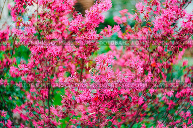 Lilac loropetalum during flowering close-up, texture background of...