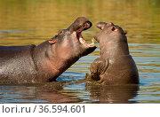 Hippopotamus (Hippopotamus amphibius) adult and young fighting, Masai Mara Nature Reserve, Kenya. Стоковое фото, фотограф Inaki Relanzon / Nature Picture Library / Фотобанк Лори