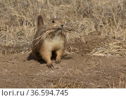 Black-tailed prairie dog (Cynomys ludovicianus) on burrow mound with a mouthful of grass, Rocky Mountain Arsenal Wildlife Refuge, Colorado, USA. Стоковое фото, фотограф Charlie Summers / Nature Picture Library / Фотобанк Лори