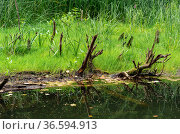 Bog shore with grass and snags. Стоковое фото, фотограф Евгений Харитонов / Фотобанк Лори
