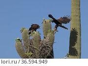 Harris hawk (Parabuteo unicinctus) parent visiting nest in Saguaro cactus (Carnegiea gigantea) with desert rabbit for juvenile about to fledge, Sonoran Desert, Arizona, UK. Стоковое фото, фотограф John Cancalosi / Nature Picture Library / Фотобанк Лори