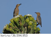 Gila woodpecker (Melanerpes uropygialis) pair feeding on Saguaro cactus (Carnegiea gigantea) blossom nectar, one chasing the other off the blossoms, Sonoran Desert, Arizona, USA. Стоковое фото, фотограф John Cancalosi / Nature Picture Library / Фотобанк Лори