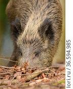 Wild boar (Sus scrofa) adult female feeding in leaf litter. Forest... Стоковое фото, фотограф Oscar Dewhurst / Nature Picture Library / Фотобанк Лори