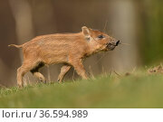 Wild boar (Sus scrofa) piglet with twigs in mouth. Forest of Dean... Стоковое фото, фотограф Oscar Dewhurst / Nature Picture Library / Фотобанк Лори