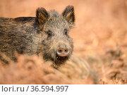 Wild boar (Sus scrofa) in bracken. Forest of Dean, Gloucestershire... Стоковое фото, фотограф Oscar Dewhurst / Nature Picture Library / Фотобанк Лори
