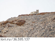 Snow leopard (Panthera uncia) mother and her sub-adult cub resting on a mountainside, Kibber Wildlife Sanctuary, India. March. Стоковое фото, фотограф Yashpal Rathore / Nature Picture Library / Фотобанк Лори
