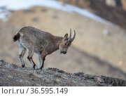 Himalayan ibex (Capra sibirica hemalayanus) female. They live at elevations of 3800m and higher, western Himalaya mountains, Kibber Wildlife Sanctuary, India. April. Стоковое фото, фотограф Yashpal Rathore / Nature Picture Library / Фотобанк Лори