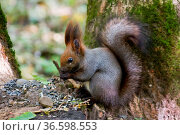 Squirrel standing between ferns and leafs Portrait of a curious squirrel... Стоковое фото, фотограф Zoonar.com/Volodymyr Khodariev / easy Fotostock / Фотобанк Лори