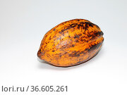 Frucht, Kakaobaum, kakao, cacao, samen, kakaofrucht, Theobroma cacao... Стоковое фото, фотограф Zoonar.com/Volker Rauch / easy Fotostock / Фотобанк Лори
