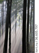 Nebel, Wald, stimmung, neblig, baum, bäume, unheimlich, mystisch,... Стоковое фото, фотограф Zoonar.com/Volker Rauch / easy Fotostock / Фотобанк Лори