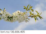 Kirsche, kirschblüten, prunus, blüte, blüten, blume, blumen, kirschbaum... Стоковое фото, фотограф Zoonar.com/Volker Rauch / easy Fotostock / Фотобанк Лори