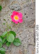 Heckenrose, wildrose, hundsrose,rose, rosa, blume,blüte, natur, pflanze... Стоковое фото, фотограф Zoonar.com/Volker Rauch / easy Fotostock / Фотобанк Лори