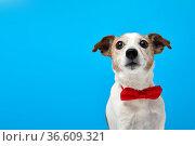 Dog Portrait breed of Jack Russell Terrier Pet bow tie. Стоковое фото, фотограф Ekaterina Demidova / Фотобанк Лори
