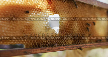 Close up of bees on honeycomb frame from a beehive