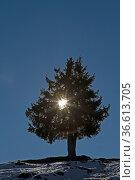 Sonne strahlt sternförmig durch einen Fichtenbaum. Стоковое фото, фотограф Zoonar.com/Eder Christa / age Fotostock / Фотобанк Лори