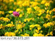 Einsamer Rotklee in einem gelben Blütenmeer (Wiesen-Platterbsen) Стоковое фото, фотограф Zoonar.com/Martina Berg / easy Fotostock / Фотобанк Лори