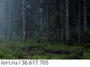 Nebel, Bäume, Schwarzwald. Стоковое фото, фотограф Zoonar.com/Gerd Herrmann / age Fotostock / Фотобанк Лори