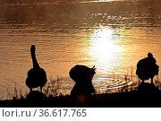 Graugans, Anser anser, Sonnenaufgang, See. Стоковое фото, фотограф Zoonar.com/Gerd Herrmann / age Fotostock / Фотобанк Лори