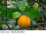Apfelsinenbaum, apfelsine, aorange, obst, frucht, früchte, sauer,... Стоковое фото, фотограф Zoonar.com/Volker Rauch / easy Fotostock / Фотобанк Лори