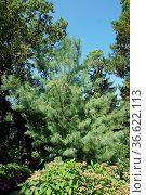 Pinus wallichiana, Traenenkiefer, Himalayan pine. Стоковое фото, фотограф Zoonar.com/Peter Himmelhuber / age Fotostock / Фотобанк Лори