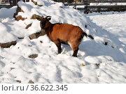 Ziege , Schnee, winter, tier, nutztiere, nutztier, tier, kalt, hügel... Стоковое фото, фотограф Zoonar.com/Volker Rauch / easy Fotostock / Фотобанк Лори