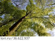 Frühlingswald, wald, natur,buche, buchen, buchenwald, frühling, frühjahr... Стоковое фото, фотограф Zoonar.com/Volker Rauch / easy Fotostock / Фотобанк Лори